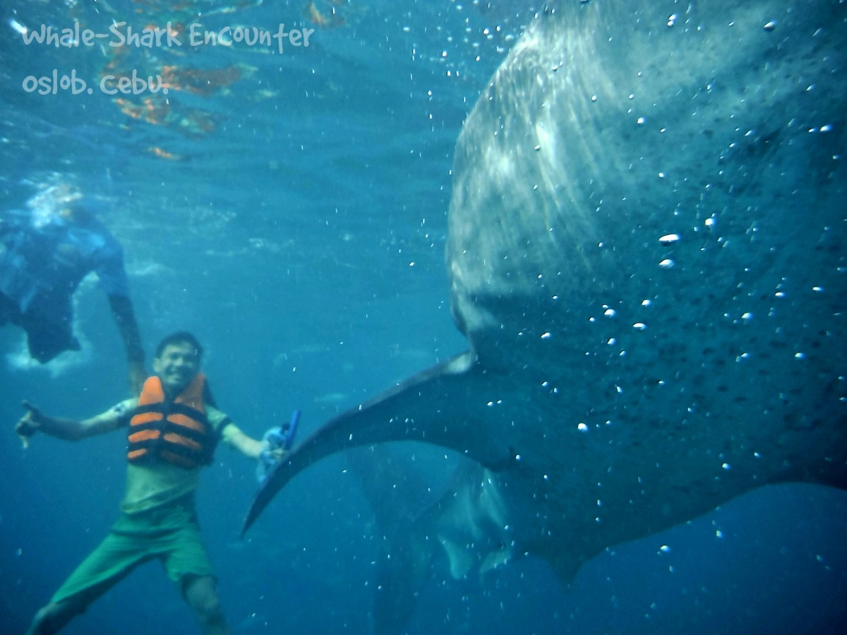 Swimming with the gentle giants.