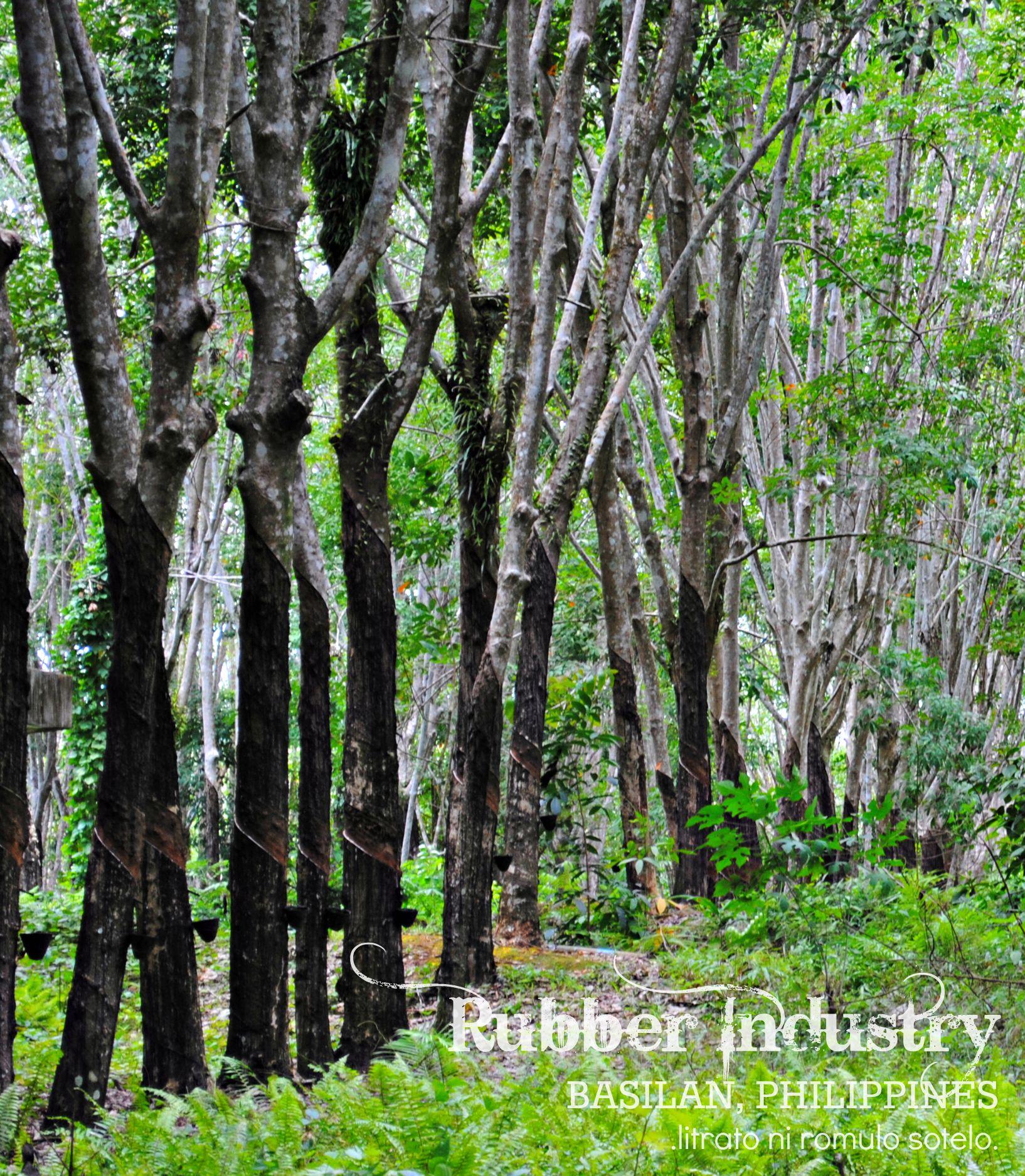 Rubber Tree Plantation Of Basilan Ph No Juan Is An Island
