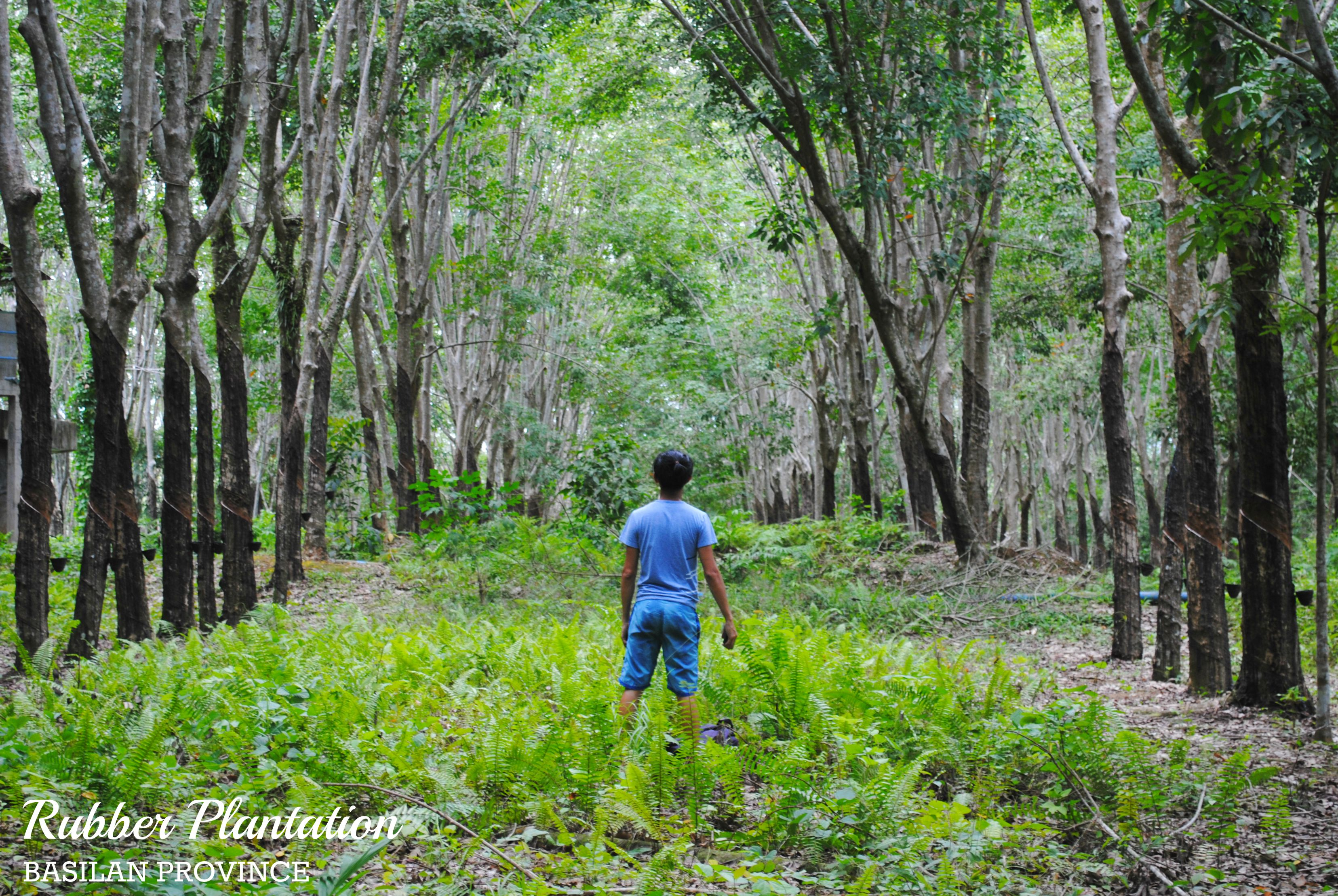 rubber plantations The first decade of the new millennium saw a boom in rubber prices this led to rapid and widespread land conversion to monoculture rubber plantations in continental se asia, where natural rubber production has increased 50% since 2000.