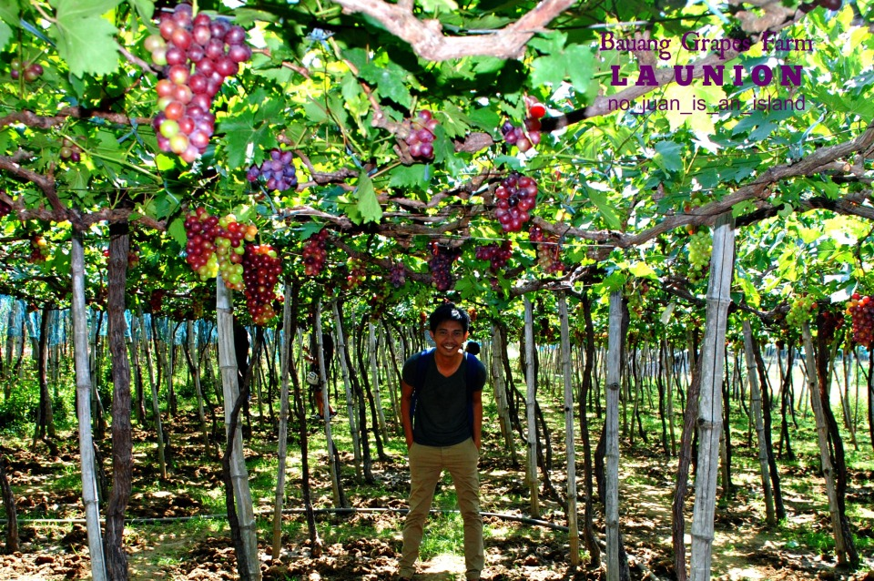 Bauang Grapes Farm La Union Ph No Juan Is An Island